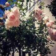 Roses au pied de l'immeuble Issy les Moulineaux 2013